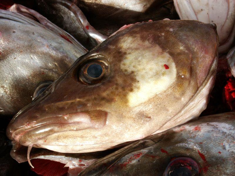 漁業が大西洋タラの急速な進化を促した_c0025115_19124663.jpg