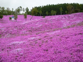 芝桜♪_f0096216_17311885.jpg