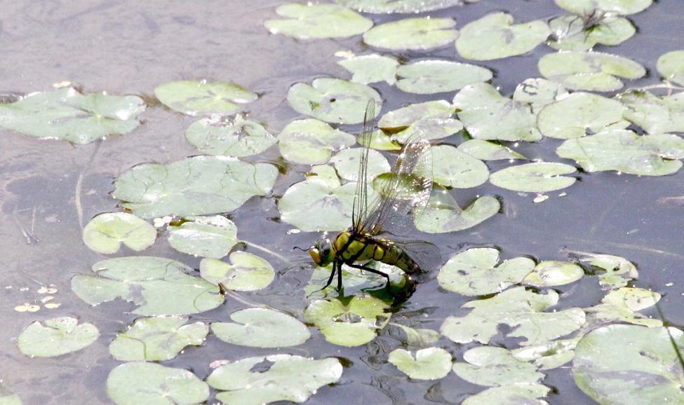 クロスジギンヤンマとギンヤンマ        森林公園_a0107574_010314.jpg