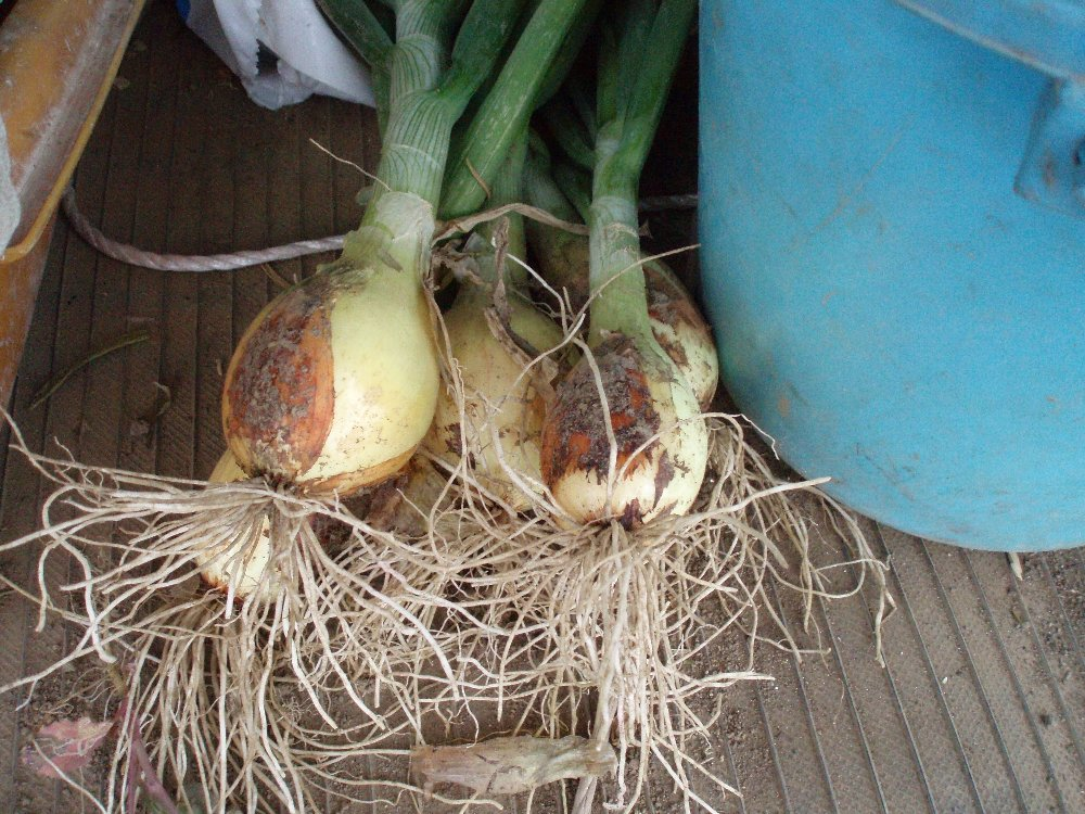 春野菜の収穫_e0087201_22205119.jpg