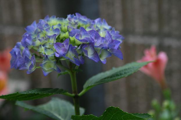 雨模様には紫陽花_d0150720_6513415.jpg