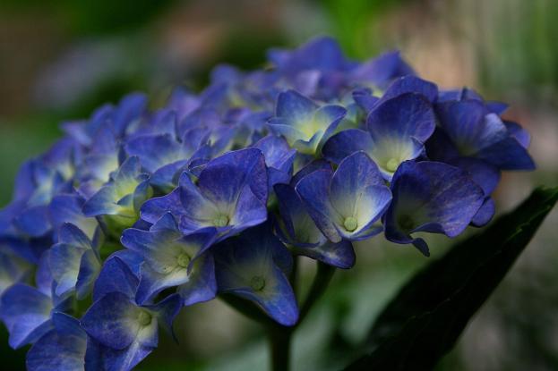 雨模様には紫陽花_d0150720_6524037.jpg