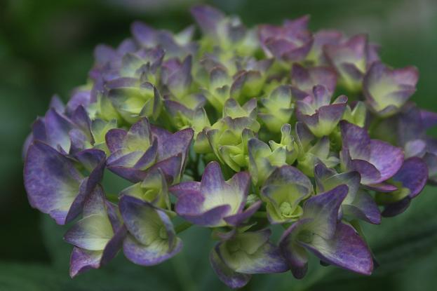 雨模様には紫陽花_d0150720_653311.jpg