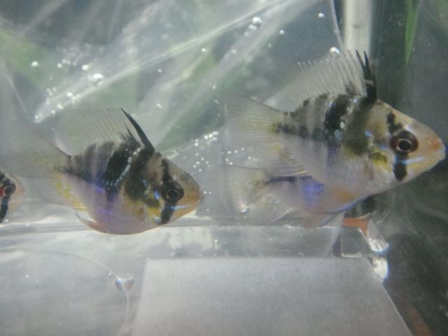熱帯魚・水草_f0189122_1255505.jpg