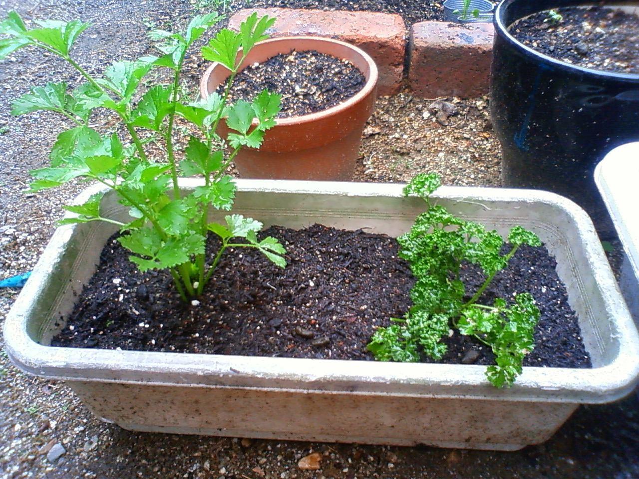 家庭菜園報告 (チラシの裏編_c0155364_16544169.jpg