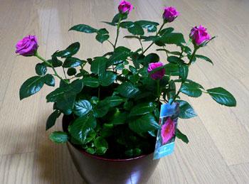 残り物のバラ^^_d0020309_892761.jpg