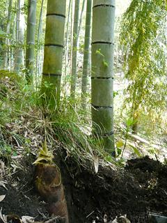 伊豆の南部で タケノコを掘る_c0053520_2244651.jpg