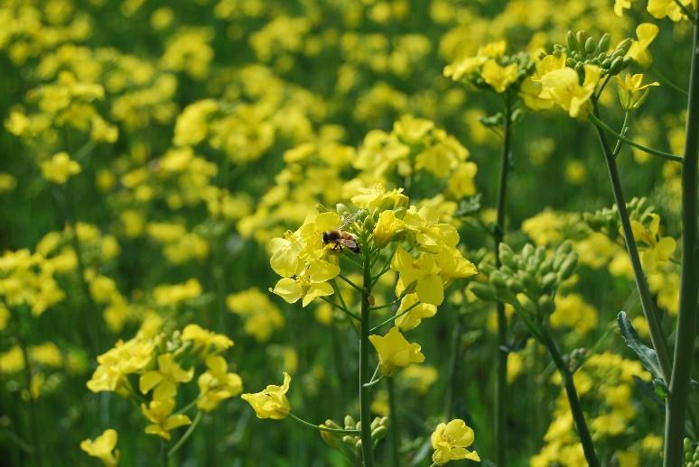 菜の花の名の端_d0085096_9415470.jpg