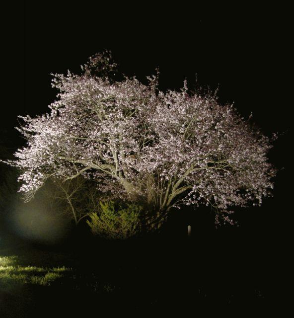 桜_c0105899_8485033.jpg