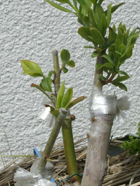2009、接ぎ木の2次成長と多品種接ぎ等の近況@ブルーベリー栽培_f0018078_14104921.jpg