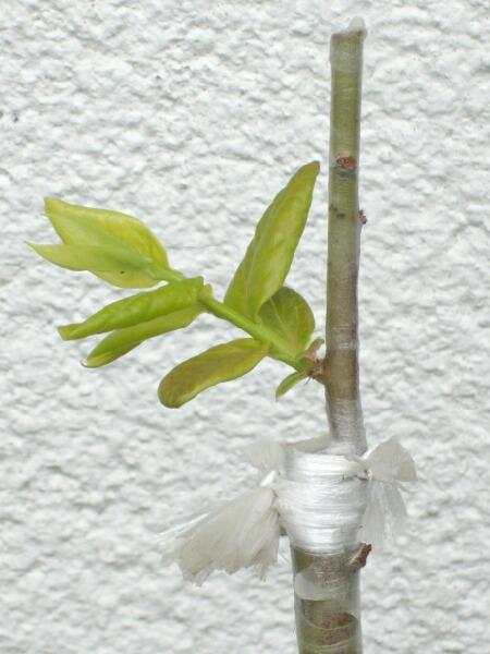 2009、接ぎ木の2次成長と多品種接ぎ等の近況@ブルーベリー栽培_f0018078_1410930.jpg