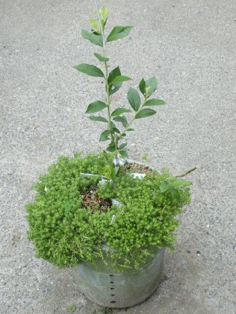 2009、接ぎ木の2次成長と多品種接ぎ等の近況@ブルーベリー栽培_f0018078_1422726.jpg