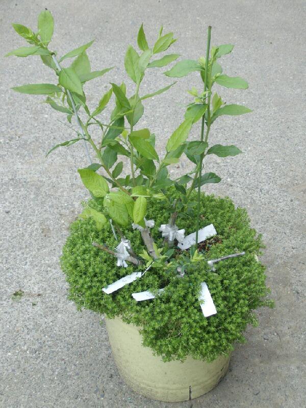 2009、接ぎ木の2次成長と多品種接ぎ等の近況@ブルーベリー栽培_f0018078_14245098.jpg