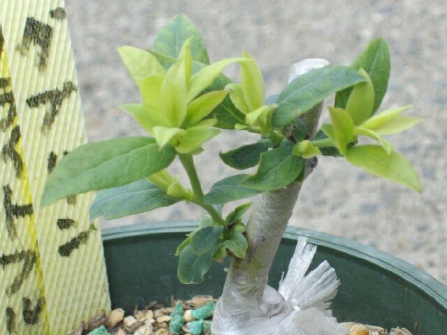 2009、接ぎ木の2次成長と多品種接ぎ等の近況@ブルーベリー栽培_f0018078_1433752.jpg