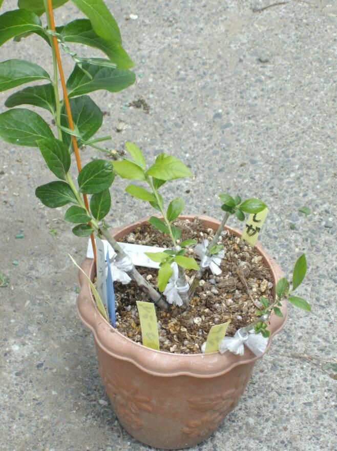 2009、接ぎ木の2次成長と多品種接ぎ等の近況@ブルーベリー栽培_f0018078_14522012.jpg