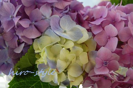 紫陽花・倶楽部_c0128886_0295479.jpg