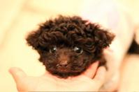 4月4日生まれのトイプードル女の子♡_d0060413_22595244.jpg