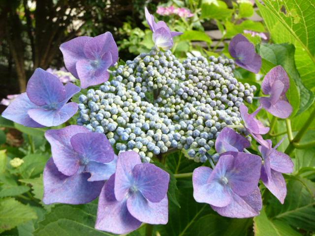 我が家のアジサイの花♪_f0099147_22162517.jpg