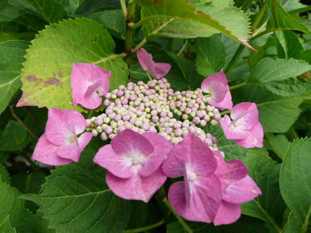 我が家のアジサイの花♪_f0099147_22164776.jpg