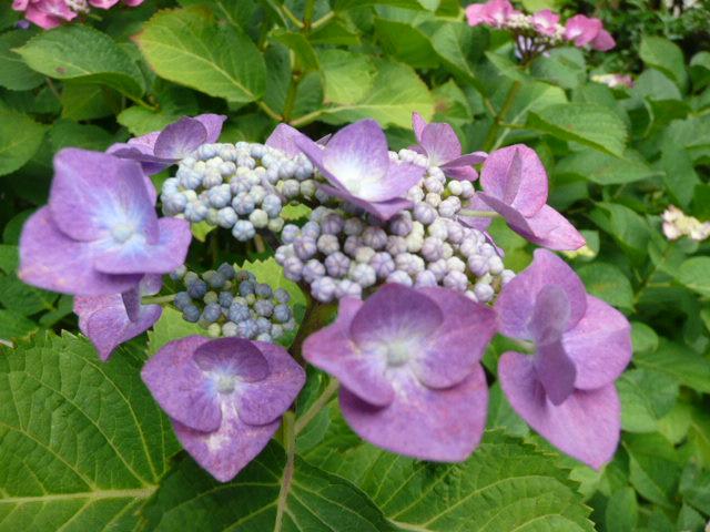 我が家のアジサイの花♪_f0099147_22174180.jpg