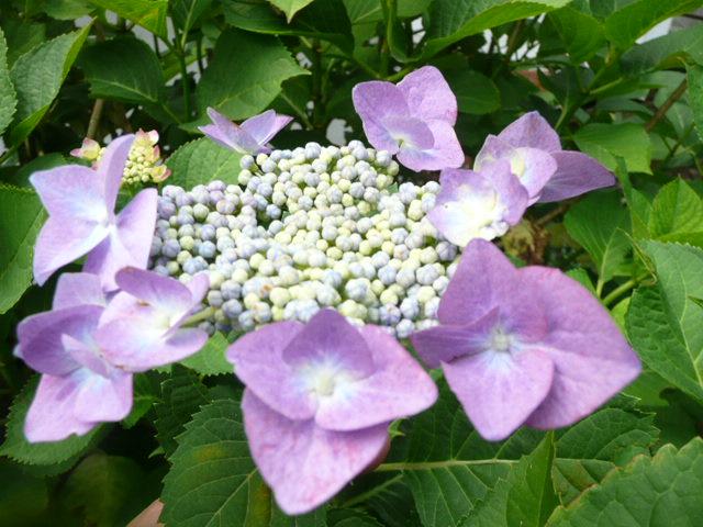 我が家のアジサイの花♪_f0099147_22175834.jpg