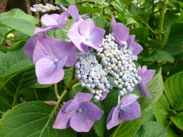 我が家のアジサイの花♪_f0099147_22181377.jpg