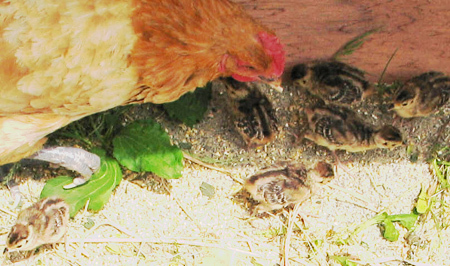 メンドリが、母死んだキジのヒナ6羽育てる 親子のように仲良く_b0052564_1524112.jpg