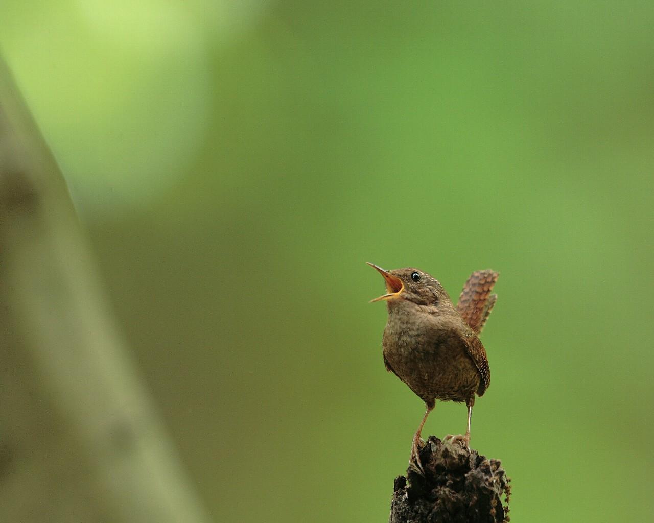 ミソサザイの力強い囀り(新緑をバックに美しい野鳥の壁紙)_f0105570_1751580.jpg