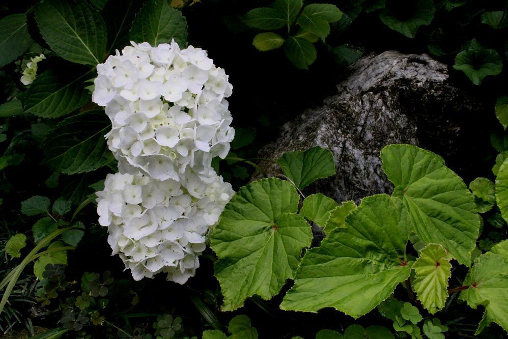 アジサイの花の色_a0107574_16511093.jpg