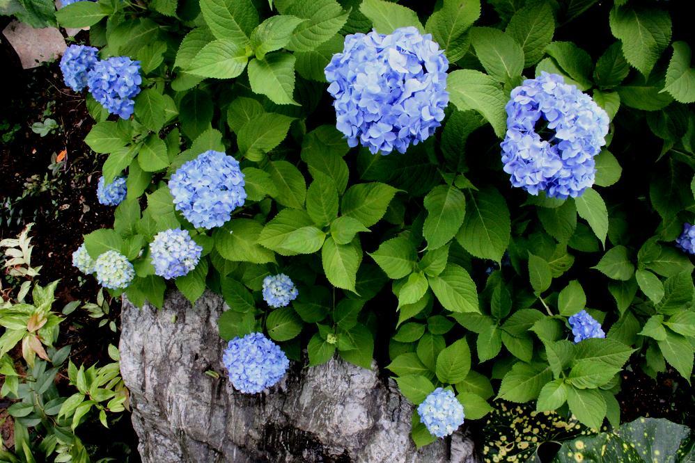 アジサイの花の色_a0107574_16512363.jpg