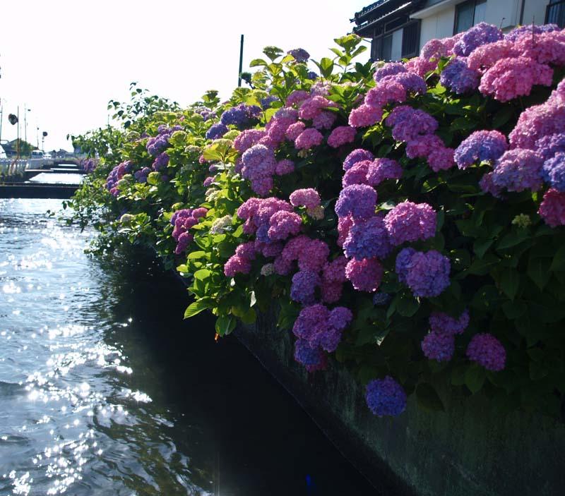紫陽花街道_d0127876_1555498.jpg