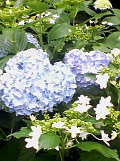 豊島園のあじさい_e0013178_151033.jpg