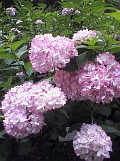 豊島園のあじさい_e0013178_151040.jpg
