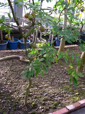アムラタマゴノキ(Spondias pinata)の果実
