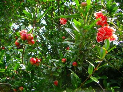 柘榴の花の樹の下で_f0146802_1303066.jpg