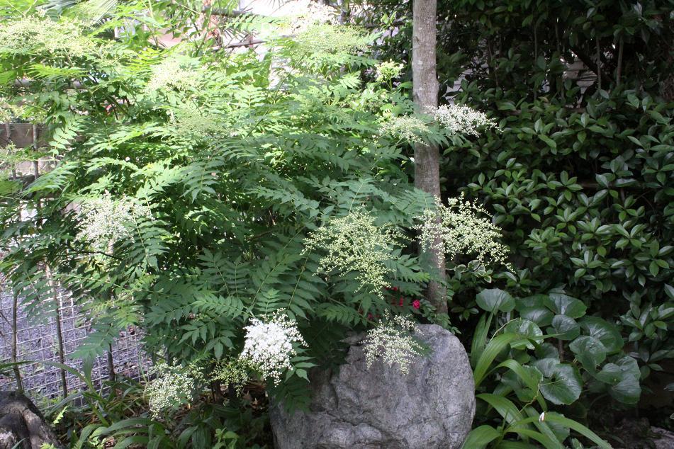 庭ナナカマド_a0107574_6304456.jpg