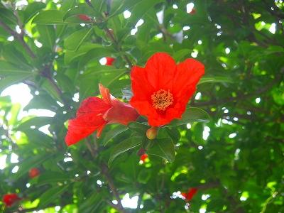 ザクロ花咲く樹の下で  _f0146802_8305271.jpg