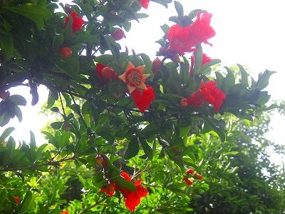ザクロ花咲く樹の下で  _f0146802_8425840.jpg