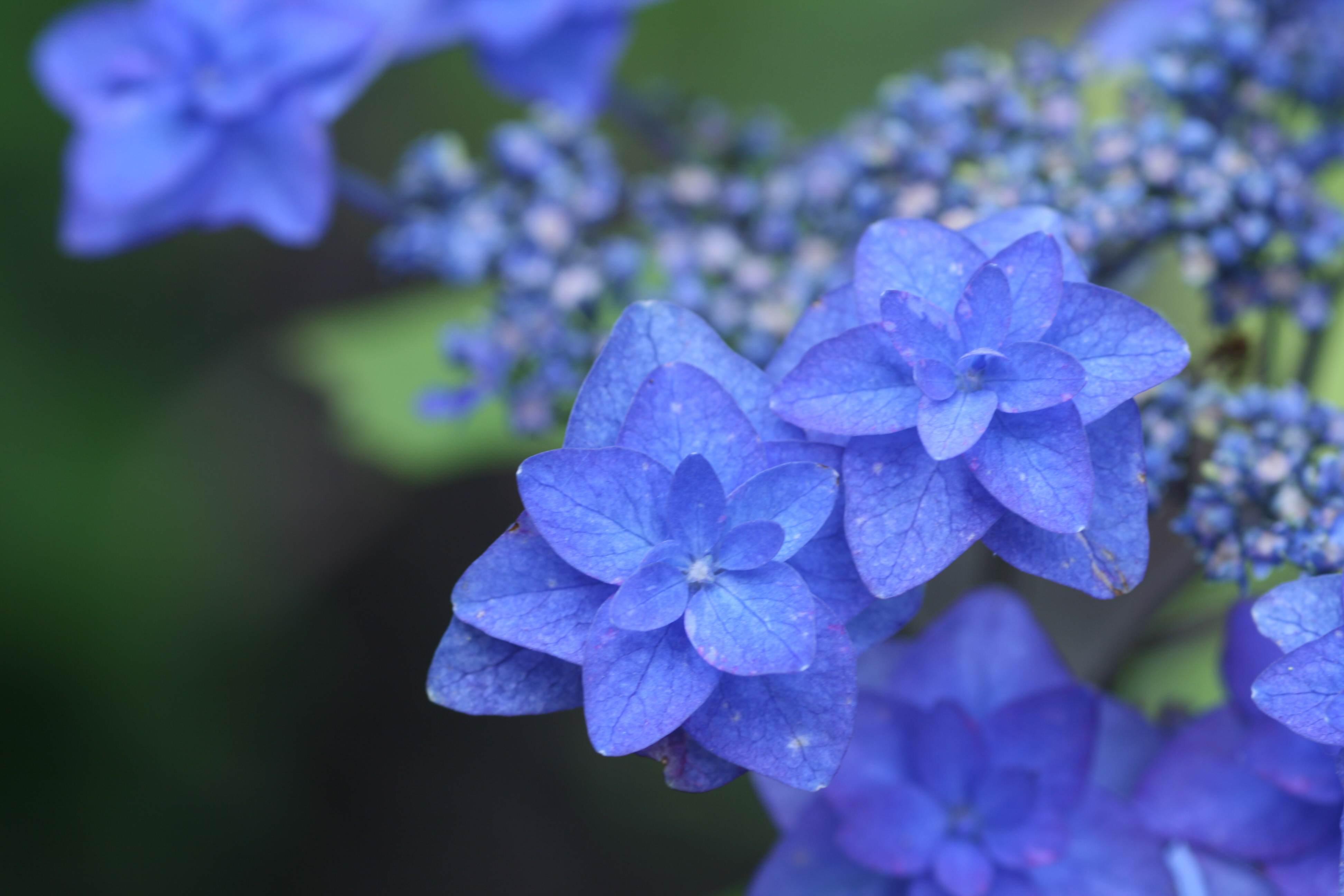 ... 紫陽花・・・ (6月1日)鎌倉宮 : 6月カレンダー 2014 : カレンダー
