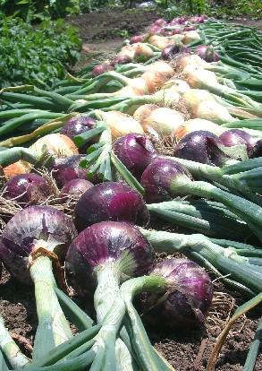 玉ねぎ収穫&保存_f0150629_21415481.jpg