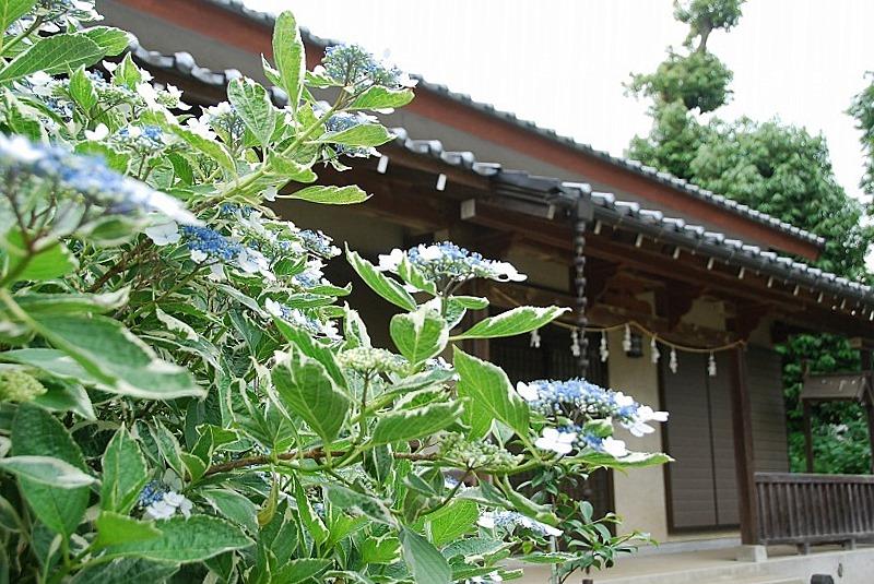 神社の紫陽花(夕方)_c0187781_191915.jpg