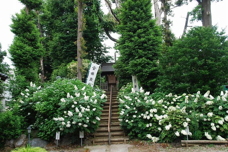 神社の紫陽花(夕方)_c0187781_19194037.jpg
