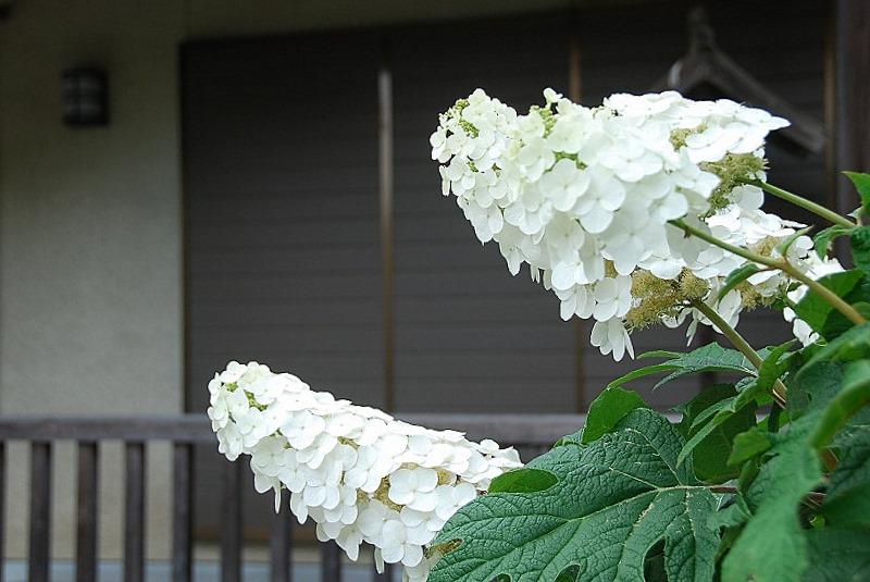 神社の紫陽花(夕方)_c0187781_19211299.jpg