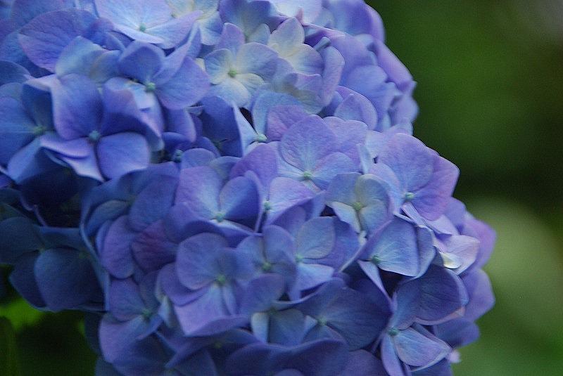 神社の紫陽花(夕方)_c0187781_19223619.jpg