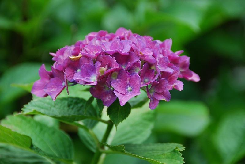 神社の紫陽花(夕方)_c0187781_1923359.jpg