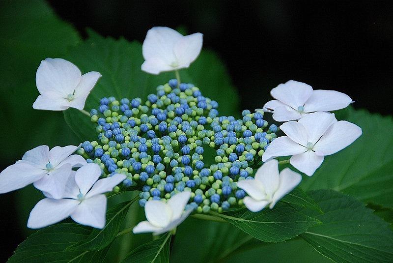 神社の紫陽花(夕方)_c0187781_19243113.jpg
