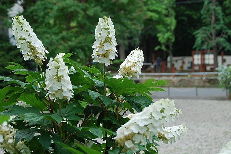 神社の紫陽花(夕方)_c0187781_19255117.jpg