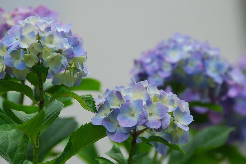 神社の紫陽花(夕方)_c0187781_19313262.jpg