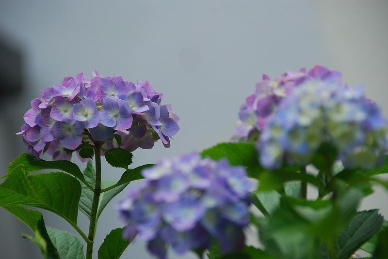 神社の紫陽花(夕方)_c0187781_1932185.jpg