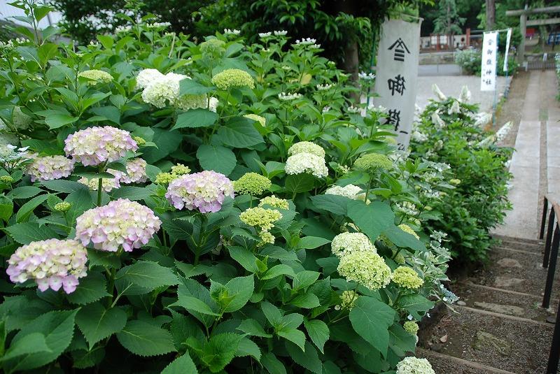 神社の紫陽花(夕方)_c0187781_193462.jpg